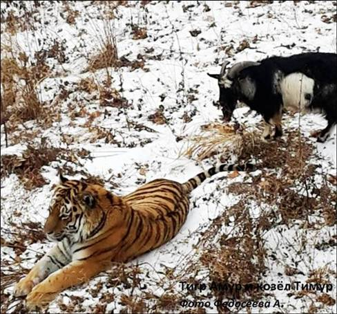tiger and goat
